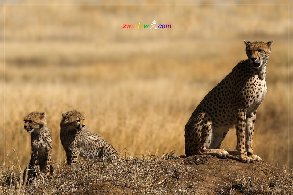 肯尼亚猎豹营
