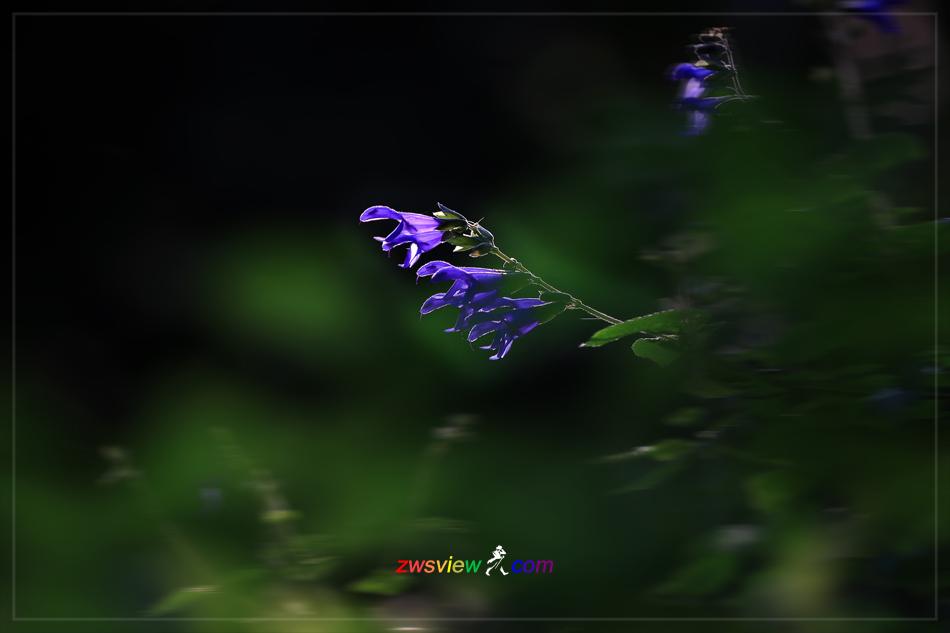 鼠尾草,洋人的「灵芝草」