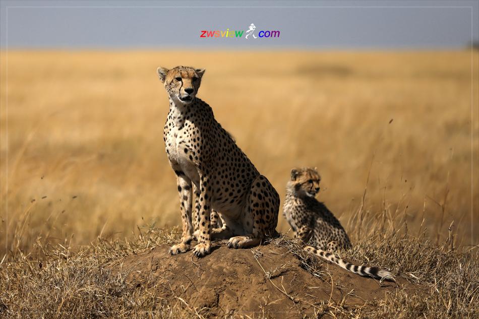 猎豹:非洲草原最凄美的大猫