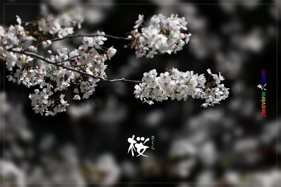 樱花和樱桃