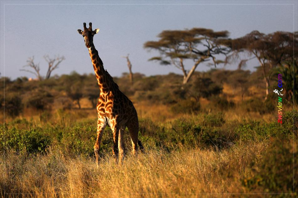 长颈鹿和金合欢:相爱相杀百万年